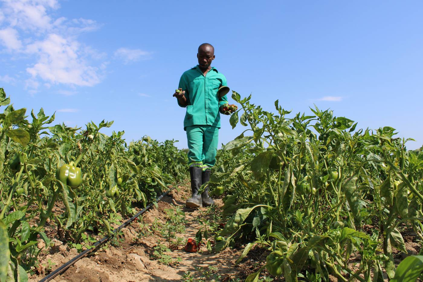 Zimbabwe farmers venture into vegetables to outsmart poor …