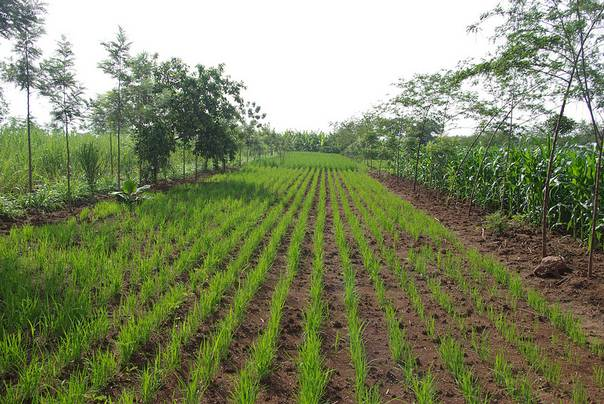 Plants in a field farmed as part of the Kenya Agricultural Carbon Project. PHOTO/World Bank