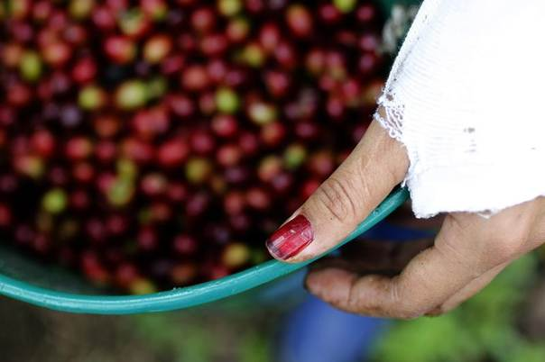 A woman inspects coffee berries in a plantation near Viota in Colombia's Cundinamarca province, March 2, 2012. REUTERS/Jose Miguel Gomez