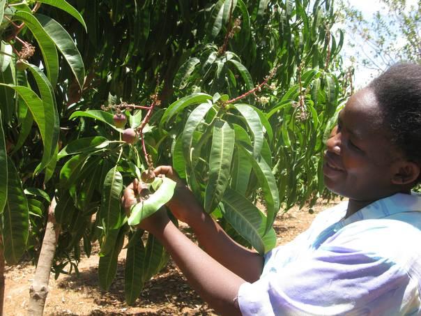 Kawira Cianjira tends a flowering mango plot at her village in Mananja, Eastern Kenya. THOMSON REUTERS FOUNDATION/Kagondu Njagi