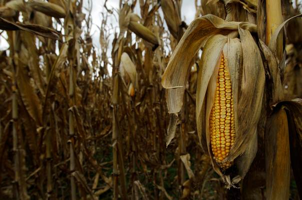 The last of the 2012 drought-stricken corn is seen at Mayne's Tree Farm in Buckeystown, Maryland, on October 27, 2012. REUTERS/Gary Cameron