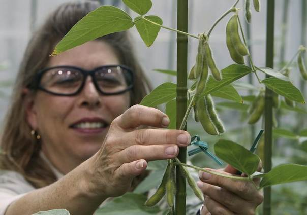Plant specialist Nancy Brumley ties up a soybean stalk in a greenhouse at the Monsanto Research facility in Chesterfield, Missouri, Oct. 9, 2009. REUTERS/Peter Newcomb