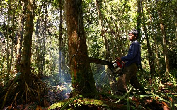 An illegal logger cuts down a tree to be turned into planks for construction in a forest south of Sampit in Indonesia's Central Kalimantan province in this November 14, 2010 file photo. REUTERS/Yusuf Ahmad