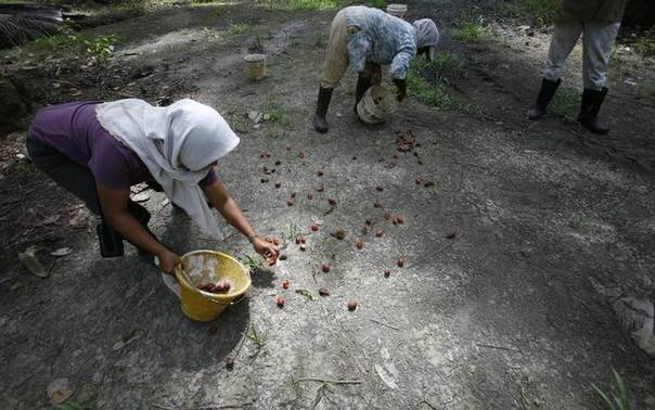 Workers collect loose oil palm fruits at a plantation in Sepang outside Kuala Lumpur October 30, 2008. REUTERS/Bazuki Muhammad