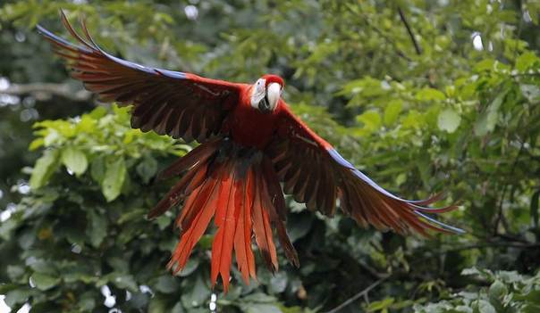A Scarlet Macaw flies after being released in a forest in Paquera, northwest of San Jose, Costa Rica, Oct. 19, 2012. The scarlet macaw is endangered because of deforestation in its habitats. REUTERS/Juan Carlos Ulate