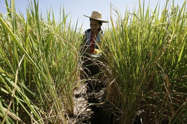 Farmer Myrna Bicera, who owns a two-hectare rice farm, shows her damaged plants caused by a dry spell in Quirino province, which was affected by the El Nino weather phenomenon, north of Manila, March 4, 2010. REUTERS/Cheryl Ravelo