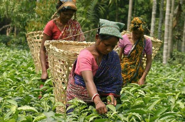 Indian tea garden workers pluck tea leaves at the Lochan tea garden estate in the Poteya village, about 75 km from the northeastern Indian city of Siliguri. Picture April 26, 2006. REUTERS/Rupak De Chowdhuri