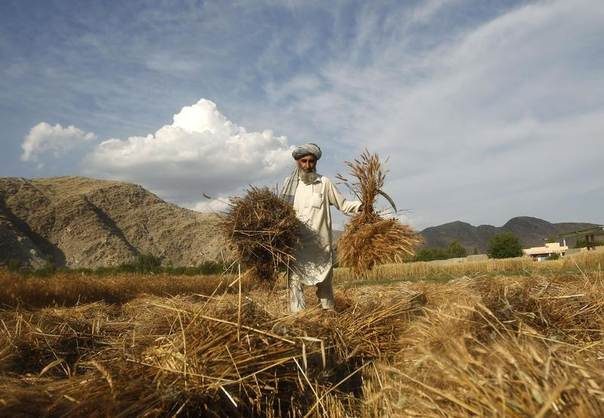 An Afghan farmer harvests wheat at his farm on the outskirts of Jalalabad province, May 6, 2014. REUTERS/Parwiz