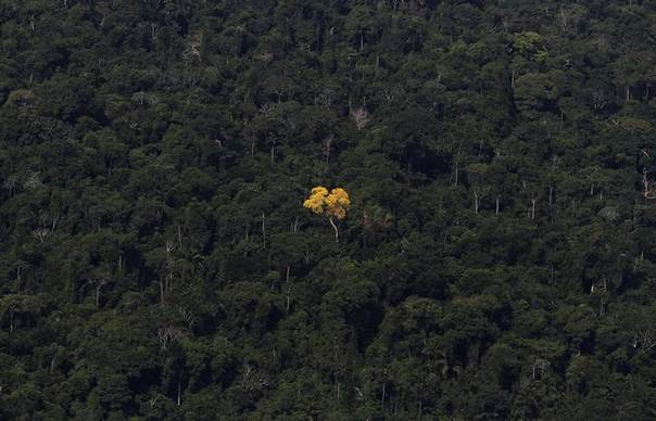 An ipe (lapacho) tree is seen in this aerial view of the Amazon rainforest near the city of Novo Progresso, Para State, September 24, 2013 REUTERS/Nacho Doce