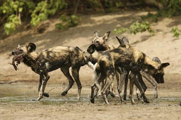 An endangered African wild dog carries a bushbuck's head in the Mana Pools National Park in northern Zimbabwe, Nov. 7, 2009. REUTERS/Howard Burditt