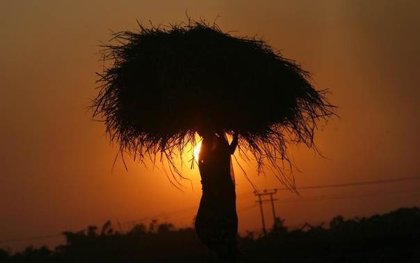 A woman farmer carrying paddy crop is silhouetted against the setting sun near Agartala, in India's northeastern state of Tripura November 24, 2011. REUTERS/Jayanta Dey