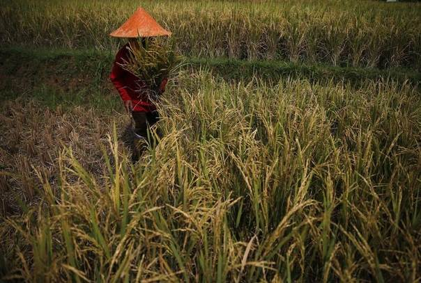 A farmer collects rice during harvest time at paddy field in Padalarang, Indonesia's West Java province, May 27, 2014. REUTERS/Beawiharta