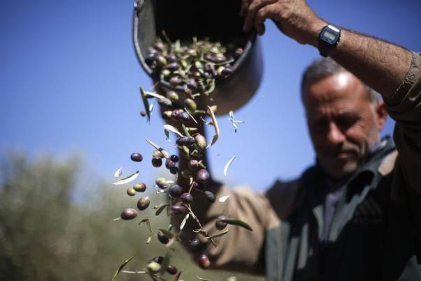 A Palestinian farmer harvests olives in the West Bank village of Um Safa near Ramallah October 24, 2013. REUTERS/Mohamad Torokman