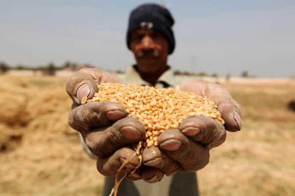 A farmer holds out grains of wheat in his hands during a harvest on a field in the El-Menoufia governorate, about 9.94 km (58 miles) north of Cairo on April 23, 2013. REUTERS/Mohamed Abd El Ghany