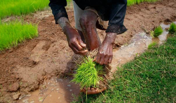 A farmer harvests rice seedlings in a nursery paddy field in the outskirts of the Madagascar capital Antananarivo on October 30, 2013. REUTERS/Thomas Mukoya