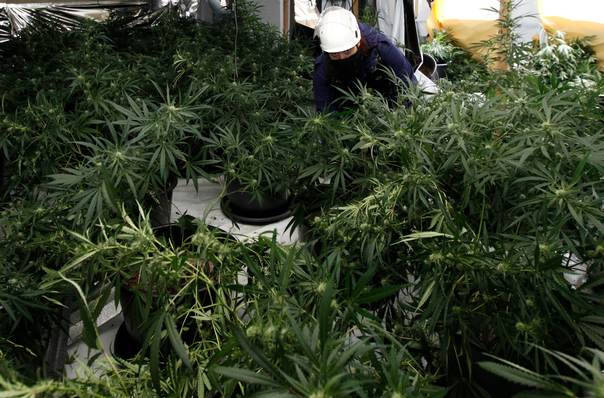 In a 2012 file photo, a member of the West Midlands Police cannabis team inspects cannabis plants at a factory in Birmingham, central England. REUTERS/Darren Staples
