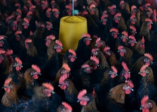 Factory farming in Asia poses environmental, forced-labour risks - report