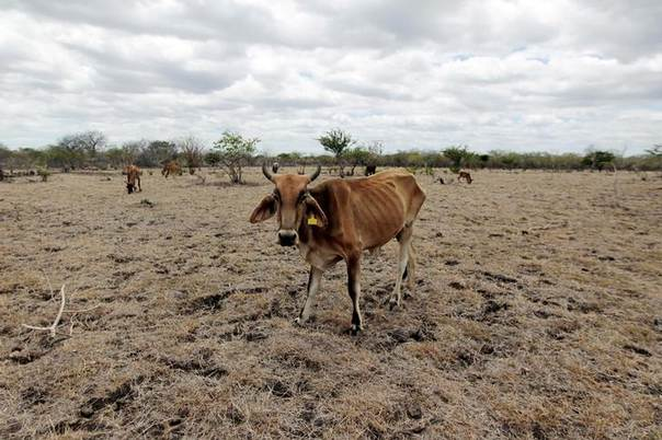 Cows walk on drought-hit land in San Francisco Libre, Nicaragua, one of the areas affected by lack of rain which has killed more than 2,000 cows. Picture July 18, 2014, REUTERS/Oswaldo Rivas