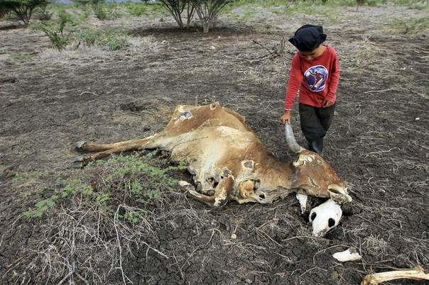 A boy looks at a dead cow at El Rosario farm in San Francisco Libre town, Nicaragua, part of Central America devastated by drought, causing food shortages and hunger. Picture August 19, 2014. REUTERS/Oswaldo Rivas