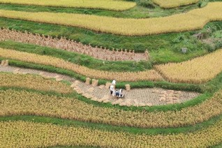 World's largest rice gene bank secures funding to fight climate change