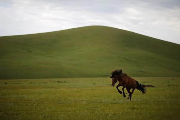 A horse is tied as part of its training to be a racing horse at an area of grasslands located 70km (43 miles) from the Mongolian capital city Ulan Bator on June 26, 2013. REUTERS/Carlos Barria