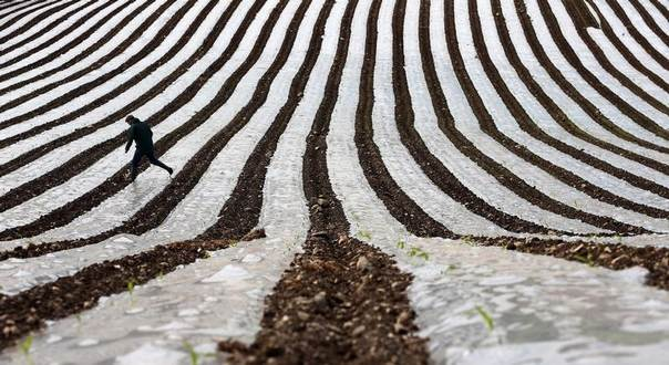 A man walks through a field of maize, planted under a film of biodegradable plastic which raises the soil temperature at the start of the season, near the city of Londonderry in Northern Ireland, May 19, 2014. REUTERS/Cathal McNaughton