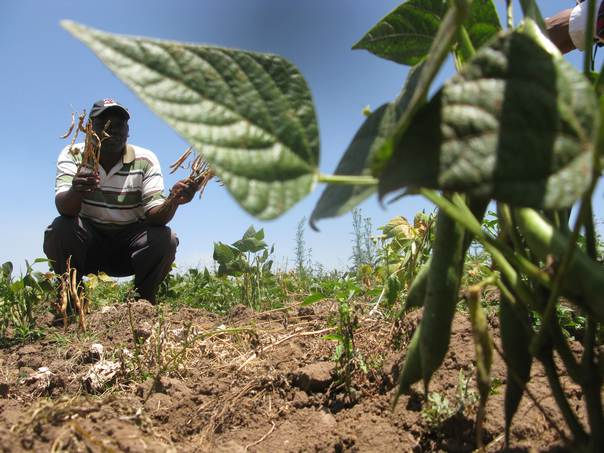 Joshua Nyaruri shows off a handful of the new bean variety at his farm in Ole Leshua village, Narok County, Kenya. THOMSON REUTERS FOUNDATION/Kagondu Njagi