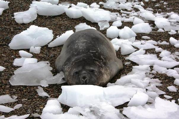 In this 2009 file photo, a young elephant seal sleeps amid chunks of ice on a beach at Lagoon Island, Antarctica REUTERS/Alister Doyle