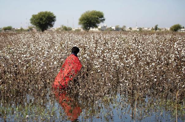 A labourer harvests cotton in a flooded field on the outskirts of Ghotki district during Pakistan's 2010 devastating floods. THOMSON REUTERS FOUNDATION/Saleem Shaikh.