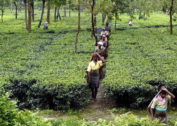 This 2004 file photo shows Indian tea pickers arriving for work at a tea estate at Naxalbari in the north eastern state of West Bengal. REUTERS/Kamal Kishore