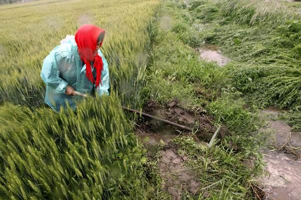 A farmer digs a ditch to drain a flooded wheat field in Ganyu county, Jiangsu province, China. May 27, 2013. REUTERS/China Daily