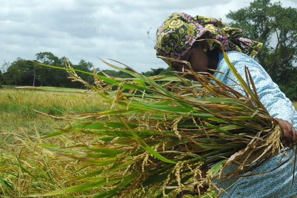A farmer in Sri Lanka's central Kurunegala District harvests rice. THOMSON REUTERS FOUNDATION/Amantha Perera