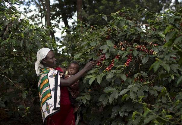 A woman picks coffee berries while holding a child at the Paradise Lost coffee farm in Kiambu, outside Kenya's capital Nairobi, November 10, 2015. REUTERS/Siegfried Modola
