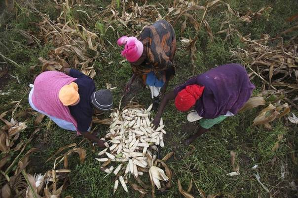 Zimbabwean women harvest maize from a field in a peri-urban suburb of Mabvuku in Harare, April 10, 2014. REUTERS/Philimon Bulawayo