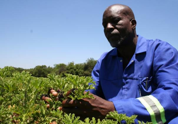 John Doro inspects rose geranium plants on a farm outside Bulawayo, Zimbabwe's second city. TRF/Busani Bafana
