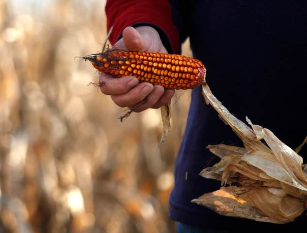 Omar Saez holds a cob of corn on a ranch near the town of Valdes, southwest of Buenos Aires, Argentina, on May 26, 2012. REUTERS/Enrique Marcarian